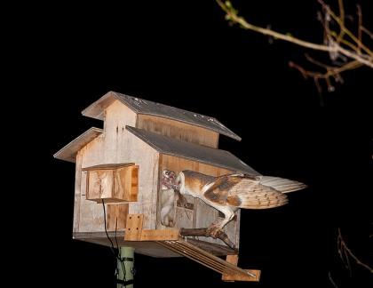 McGee Feeding Owlets