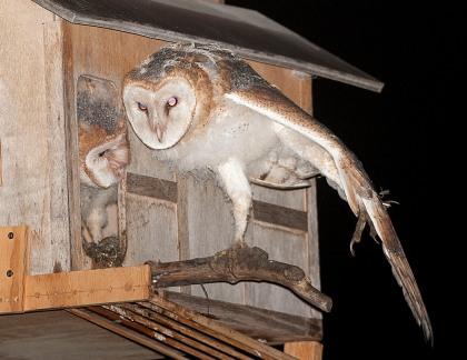 4D5Q7937 Owl Yogi