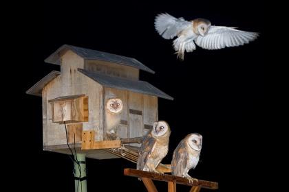 4D5Q8426 Four Owlets