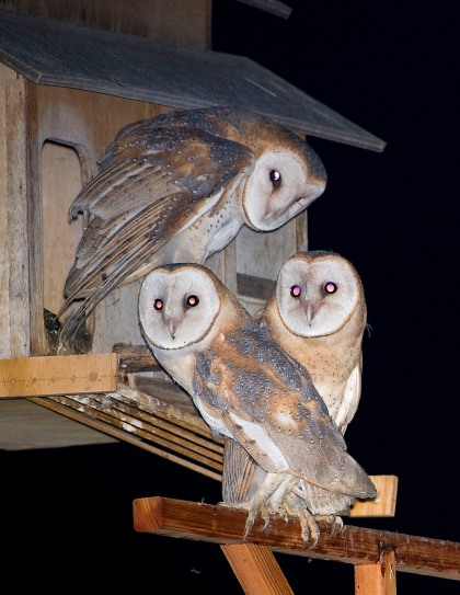 4D5Q8448 3 Owls