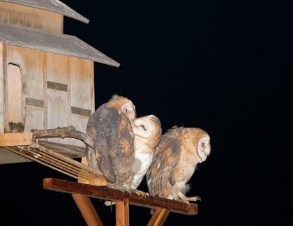 4D5Q8460 Owl Kiss