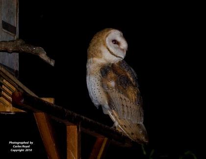 IMG_0393 Owlet