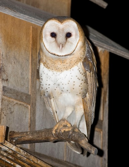 4D5Q8625  Pattison Male Owlet