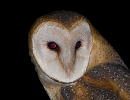 4D5Q8629 Barn Owl Close Up
