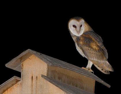 4D5Q8629 Barn Owl