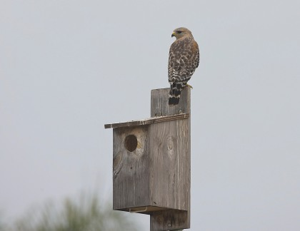 4D5Q8701 Red-Shoulder Hawk