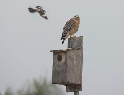 4D5Q8704 Mockingbird Patrol