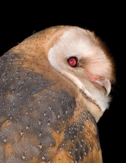 4D5Q8880 Barn Owl