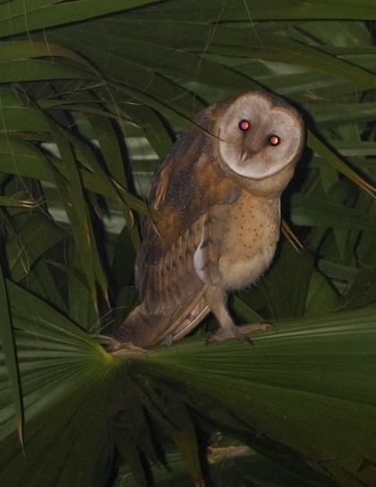 4D5Q8947 Owlet in palm1
