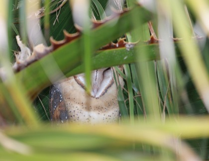 IMG_0401 Owlet In Plam Tree