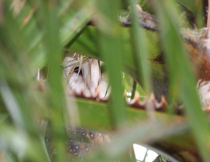 IMG_0406 Hiding Owlet