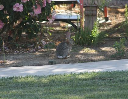 IMG_2731 Bunny Rabbit