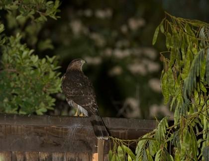 4D5Q0156 Cooper's Hawk Eyes Owl Box SF