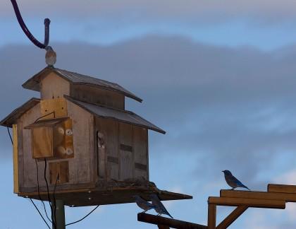 4D5Q0504 Is That A Barn Owl SF