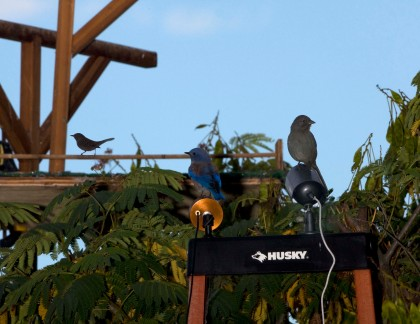 4D5Q0509 Wren Western Bluebird Towhee SF