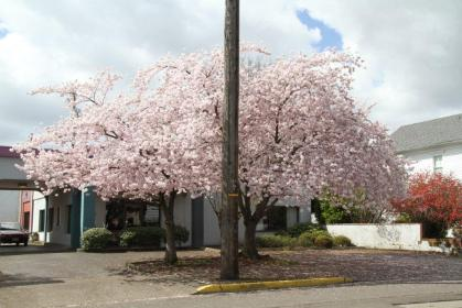 Flowering Cherry with Telephone Pole