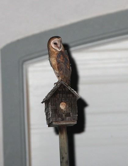 Owlet On Bluebird House