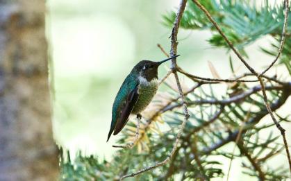 Hummingbird Idyllwild
