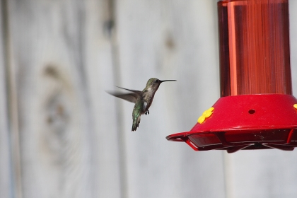 Hummingbird Backyard
