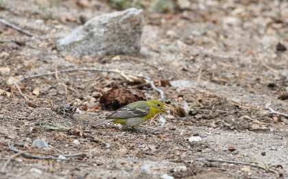 Western Tanager female